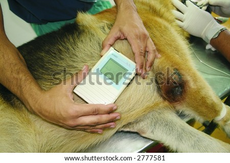 Monitoring of the heart beats of a german shepherd dog during a surgery - stock photo