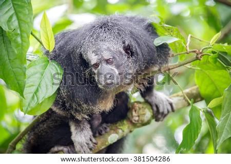 Monk Saki monkey in a tree in the Amazon Rainforest near Iquitos, Peru - stock photo
