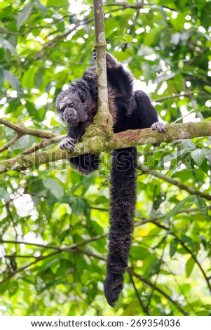 Monk Saki monkey in a tree in the Amazon Rainforest with long bushy tail visible - stock photo