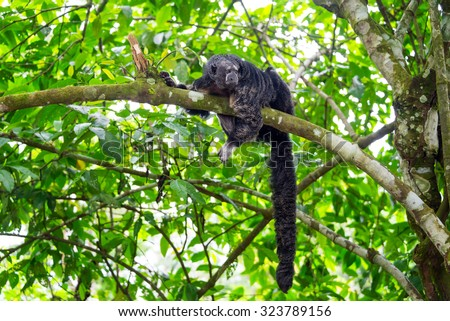 Monk Saki Monkey with a long tail in the Amazon rain forest near Iquitos, Peru - stock photo