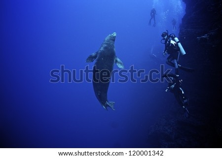 Monk Seal with divers