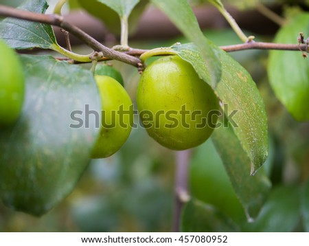 monkey apple, jujube fruits