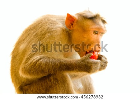 Monkey as mirror of human behavior. Healthy diet. Eating with pleasure and with monastic decorum. Indian macaques lat. Macaca radiata.  Wild animal primates on white background. Animal  eating food
