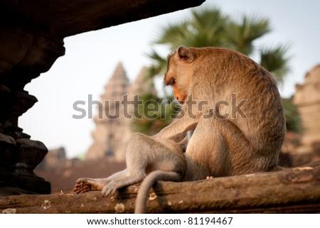 Monkey at Angkor Wat in Cambodia - stock photo