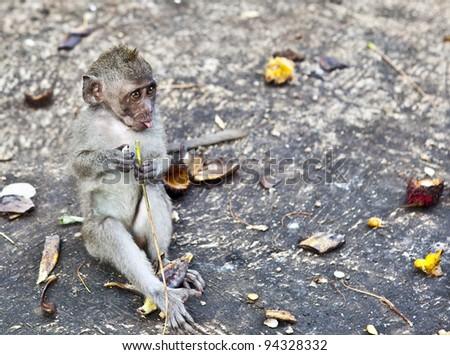 Monkey. Bali a zoo. Indonesia. - stock photo