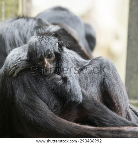 Monkey, black headed spider monkey, looking at the camera - stock photo