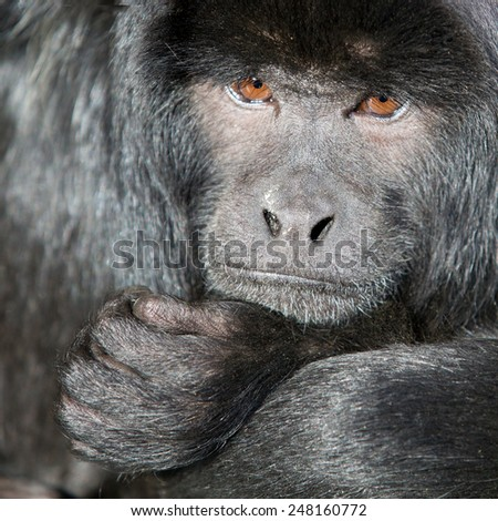 Monkey, close up profile of a Howler monkey, square cropped, - stock photo