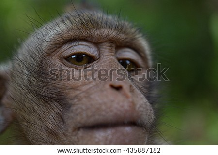 Monkey closeup eye Monkey in forest posing for camera, closeup. Cambodia 2016. April