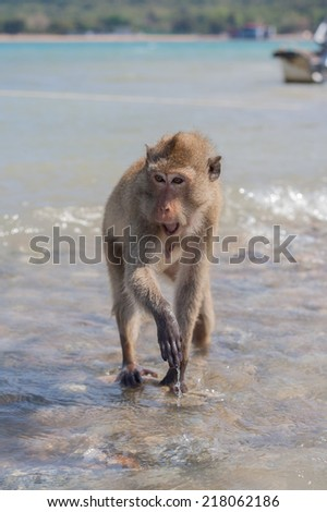 Monkey. Crab-eating macaque seats on the shore of the monkey island - stock photo