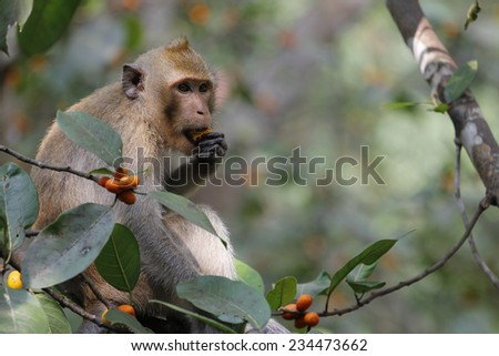 monkey eat food on tree in thailand - stock photo