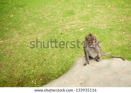 monkey fermale  sitting ona stone, in Sacred Monkey Forest in Ubud Bali Indonesia.  - copyspace - stock photo