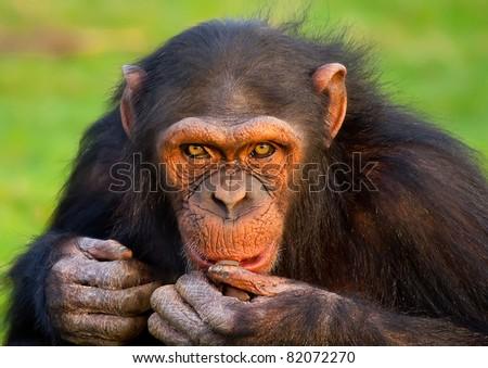 Monkey gazing with interesting expression - stock photo