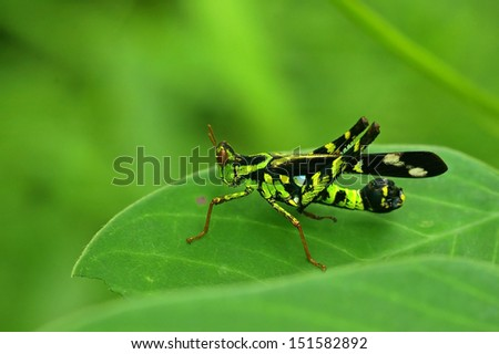 Monkey grasshopper is staying on the tree leaf