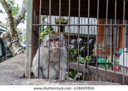 Monkey in a cage in Ubud Bali, Indonesia