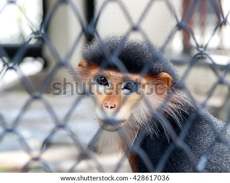 monkey in cage. feeling sad and uncomfortable.
