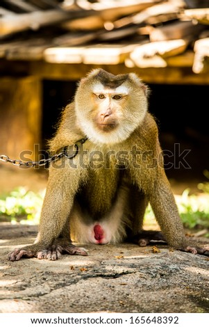 monkey  in chiangmai province Thailand