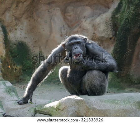 Monkey in funny pose. Chimpanzee sits on a rock scratching its chin as if in doubt, looking at camera - stock photo