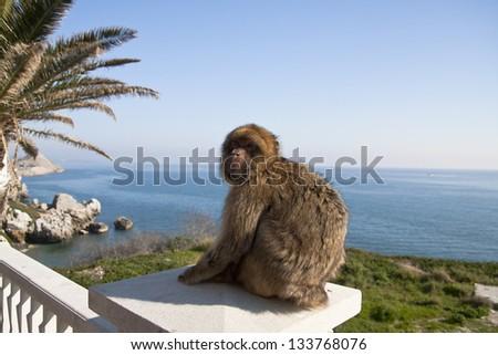 Monkey in Gibraltar - stock photo