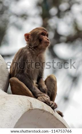 Monkey in Kathmandu sitting in a temple complex in Swayambhy - stock photo