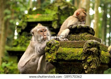 Monkey in Sangeh, Bali, Indonesia - stock photo