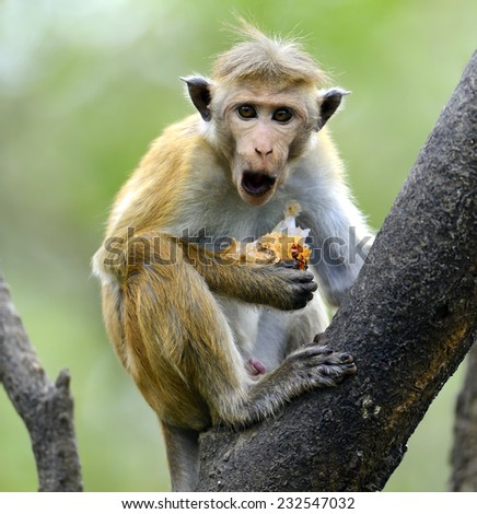 Monkey in the wild on the island of Sri Lanka - stock photo