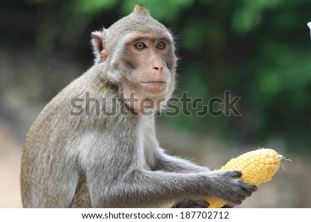 Monkey in the zoo action eating  - stock photo