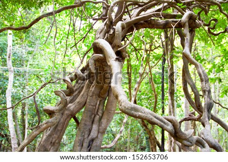 Monkey Ladder lianas (Bauhinia sp.) in tropical rainforest Thailand - stock photo