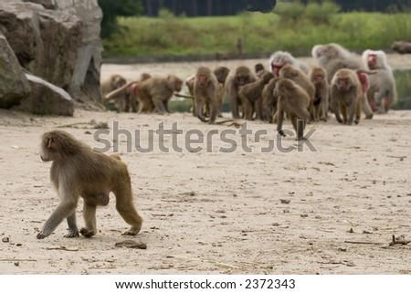 monkey looks behind - stock photo