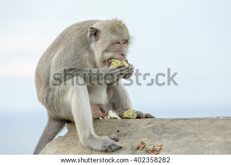 Monkey (Macaca fascicularis) near Pura Ulawatu temple, Bali Indonesia. - stock photo