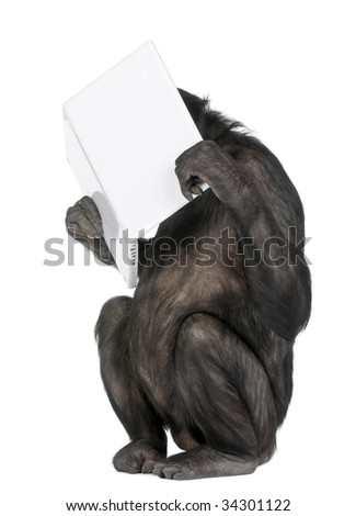 monkey (Mixed-Breed between Chimpanzee and Bonobo) playing with a laptop (20 years old) in front of a white background - stock photo