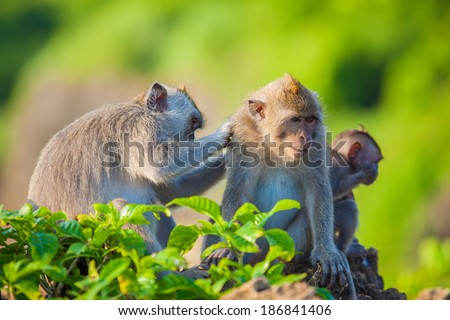 monkey on bali island - stock photo