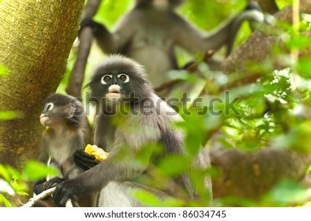 monkey (presbytis obscura reid) on tree - stock photo