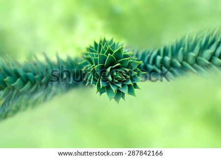 Monkey puzzle tree (Araucaria araucana). Close up - stock photo