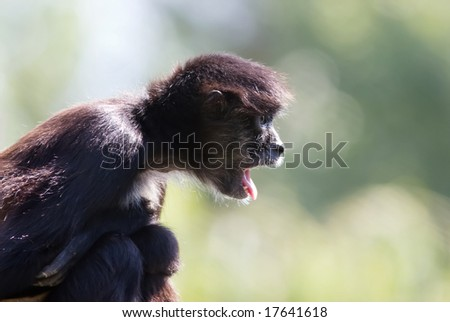 Monkey shows its long tongue. - stock photo