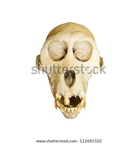 Monkey skulls - stock photo