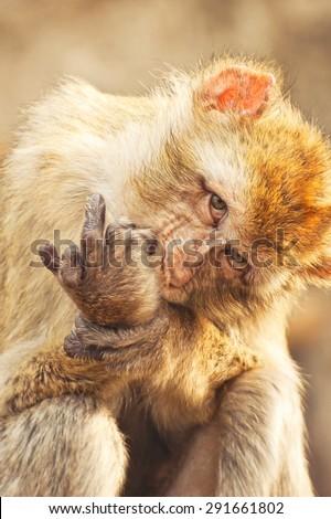 Monkey sticking up middle finger - stock photo
