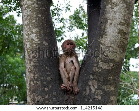 Monkey with a chain on a tree in Vietnam
