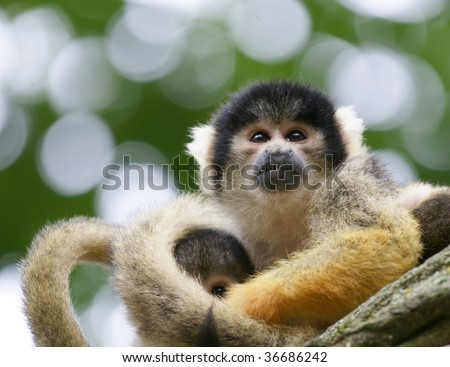 monkey with little baby - stock photo