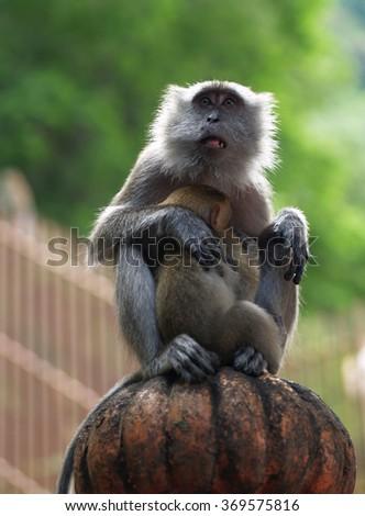Monkey with newborn, Kuala Lumpur, Malaysia - stock photo