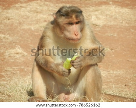 monkey with red face eating cucumber in mahabaleshwar