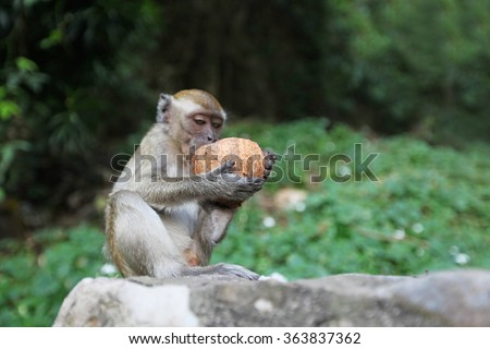 Monkeys eat coconut - stock photo