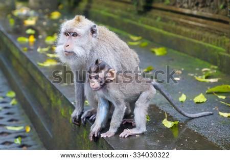 Monkeys in the park of Ubud in Bali - stock photo