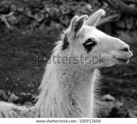 Monochromatic portrait of lama - stock photo