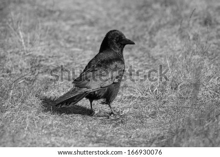 Monochrome Image of a Crow