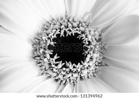 Monochrome macro close up shot of Gerbera daisy flower head - stock photo