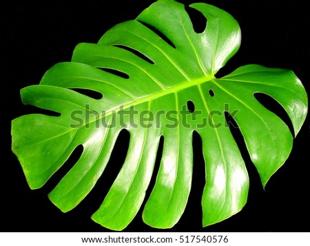 a large leaf monstera deliciosa isolated on black