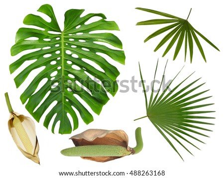 Monstera Leaf Large Fruit Palm Fronds Stock Photo Royalty Free