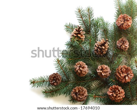 Monterey Pine cone on branch with leaves isolated on white - stock photo