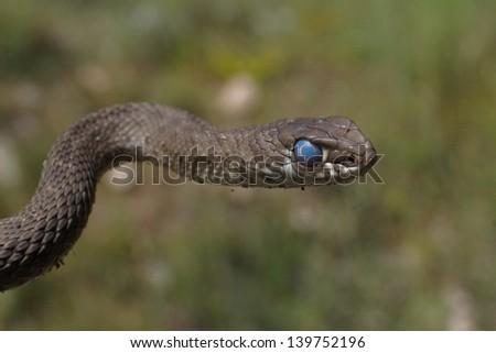 Montpellier snake - stock photo