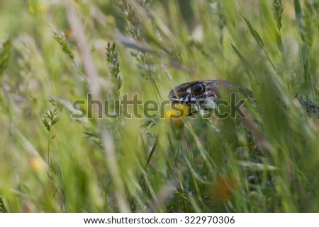 Montpellier snake hidden in the grass - stock photo